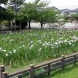 管理事務所南の花菖蒲園全景