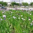 管理事務所南の花菖蒲園