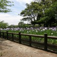 二の丸跡北の花菖蒲園
