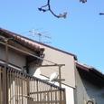 白鷺と河津桜