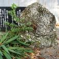春日神社のさざれ石