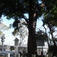 尾野神社の御神木