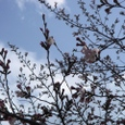 旧・諸戸邸前の桜