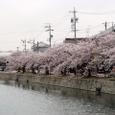 九華公園の桜並木