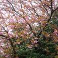 走井山の八重桜