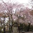 走井山公園の枝垂れ桜