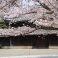 旧・諸戸邸前のソメイヨシノ