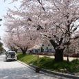 旧・諸戸邸前の桜並木