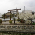 七里の渡し跡の桜