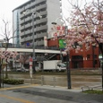 名古屋・桜山の八重桜