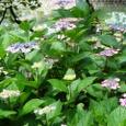 九華公園管理事務所横の紫陽花