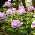九華公園の紫陽花
