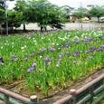 九華公園の花菖蒲