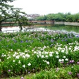 九華公園の花菖蒲園