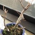 木瓜の芽吹き