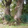 太夫の大樟の幹