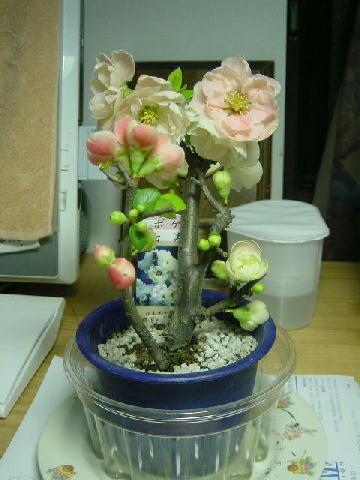 木瓜の花(白寿)