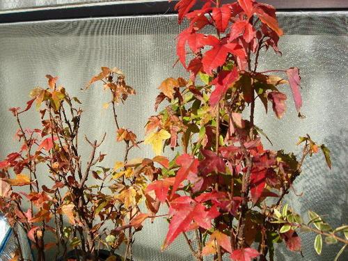 ベランダの紅葉(その2)