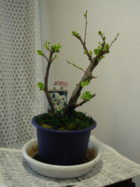 木瓜(2006/2/5)
