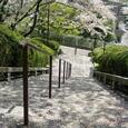 走井山の桜