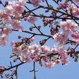 寺町の河津桜